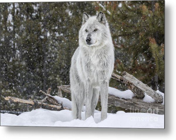 Gray Wolf Metal Print by David Osborn