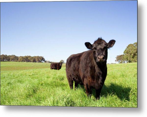 Grazing Farm Animals Metal Print