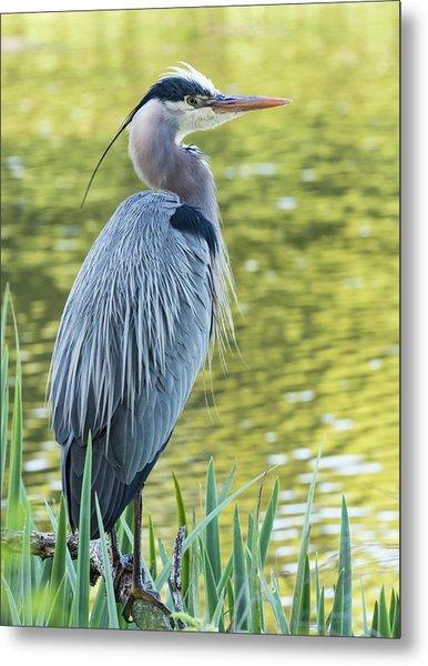 Great Blue Heron, Crystal Springs Metal Print