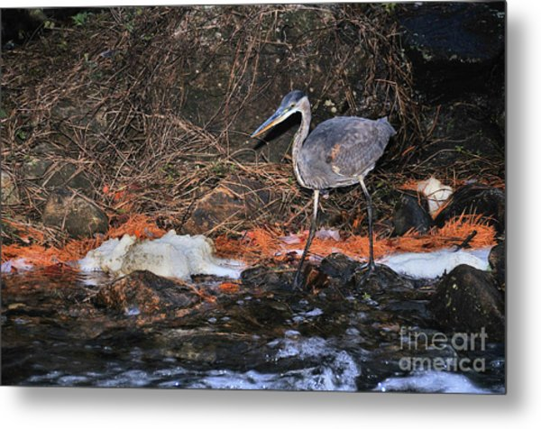 Metal Print featuring the photograph Great Blue Heron by Debbie Stahre