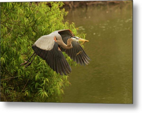 Great Blue Heron Flying, Ardea Metal Print