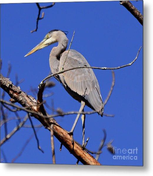 Great Blue Heron Strikes A Pose Metal Print