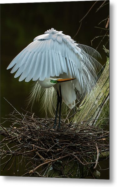 Metal Print featuring the photograph Great Egret Beauty by Donald Brown