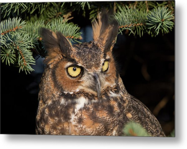 Great Horned Owl 10181802 Metal Print