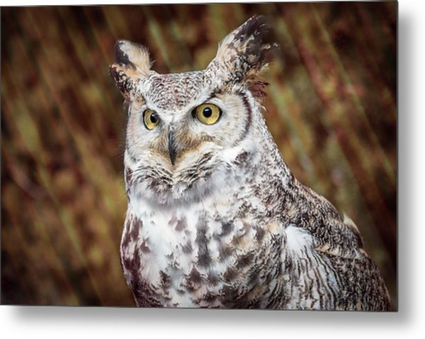 Great Horned Owl Portrait Metal Print