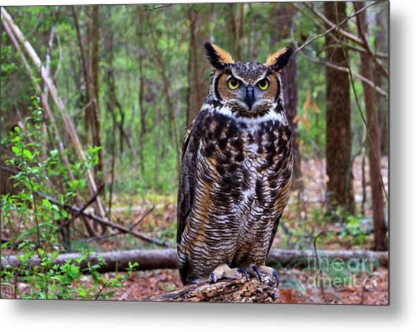 Great Horned Owl Standing On A Tree Log Metal Print