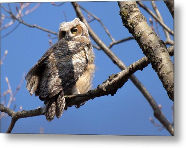 Great Horned Owlet 42915 Metal Print