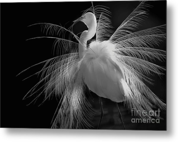 Great White Egret Portrait - Displaying Plumage  Metal Print