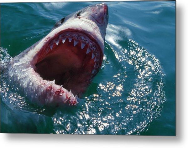 Great White Shark, Near Gansbaii, South Metal Print by Stuart Westmorland