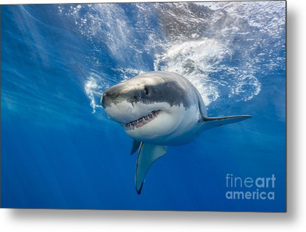 Great White Shark Swimming Just Under Metal Print by Wildestanimal