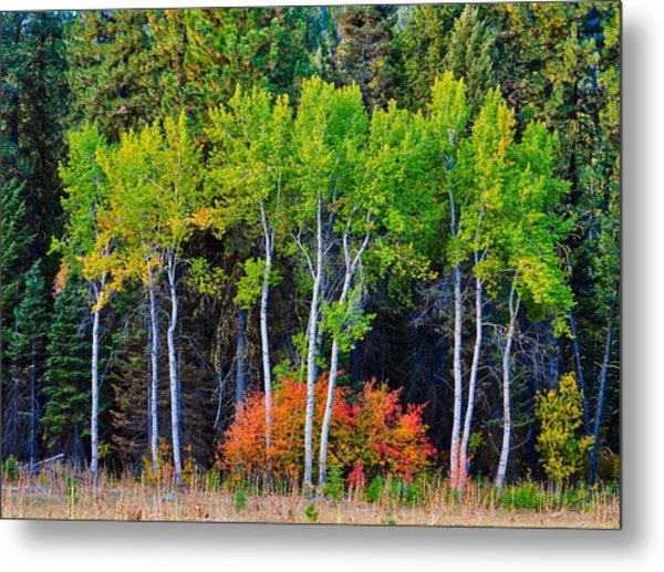 Green Aspens Red Bushes Metal Print