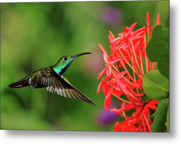 Green-breasted Mango Hummingbird, Costa Metal Print by Adam Jones