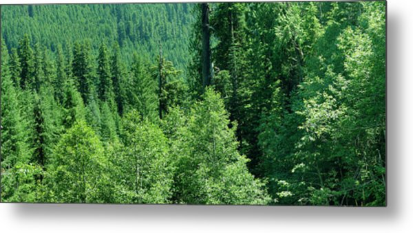 Green Conifer Forest On Steep Hillside  Metal Print