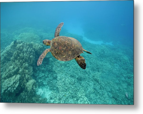 Green Sea Turtle, Big Island, Hawaii Metal Print by Paul Souders