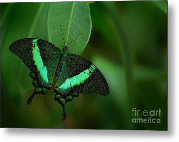 Green Swallowtail Butterfly, Papilio Metal Print