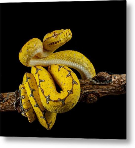Green Tree Python Ready To Strike Metal Print by Johnstarkeyphotography
