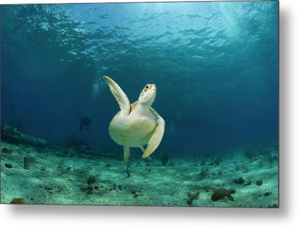 Green Turtle Chelonia Mydas Swimming Metal Print by Stephen Frink