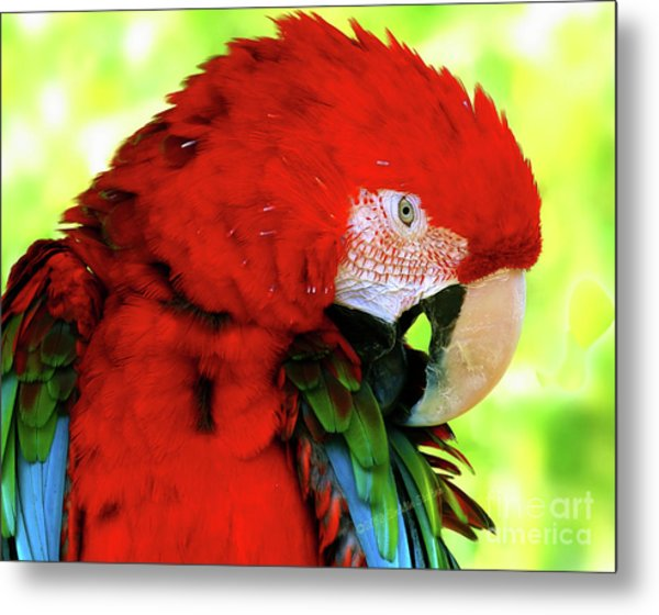 Green-winged Macaw Metal Print