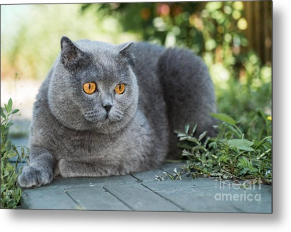 Grey British Cat Lying In The Green Metal Print by Anton Papulov