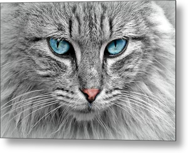 Grey Cat With Blue Eyes Metal Print