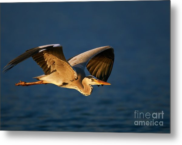 Grey Heron Ardea Cinerea Flying Low Metal Print