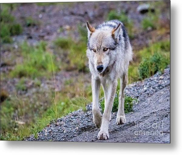 Grey Wolf In Denali National Park, Alaska Metal Print
