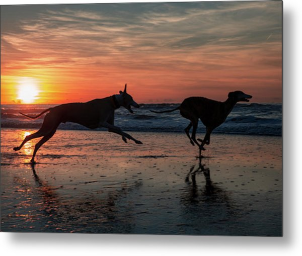 Greyhounds Running On Scheveningen Beach Metal Print