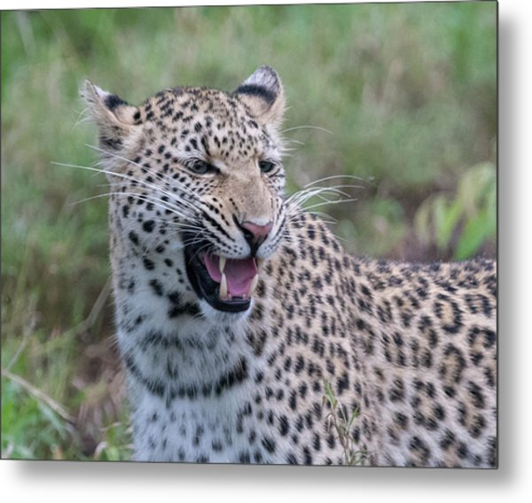 Grimacing Leopard Metal Print