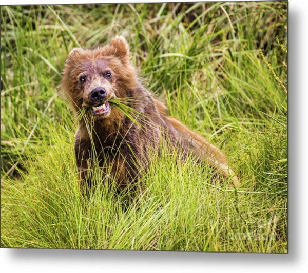 Grizzly Cub Grazing, Alaska Metal Print