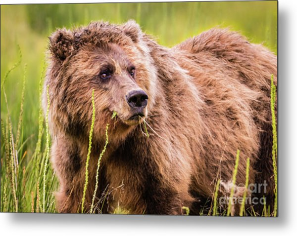 Grizzly In Lake Clark National Park, Alaska Metal Print