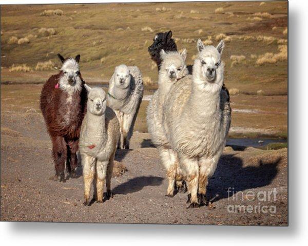 Group Of Alpacas Metal Print