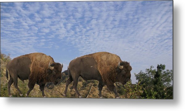 Group Of Bison Walking Against Rocky Mountains  Metal Print
