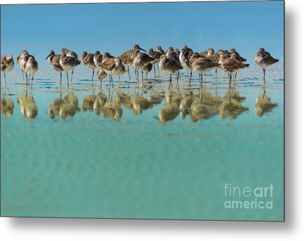 Group Of Willets Reflection On The Metal Print