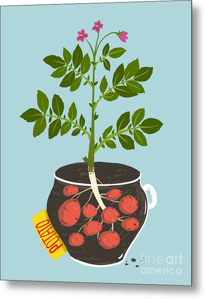 Growing Potato With Green Leafy Top In Metal Print