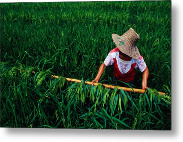 Growing Rice, China, North-east Asia Metal Print