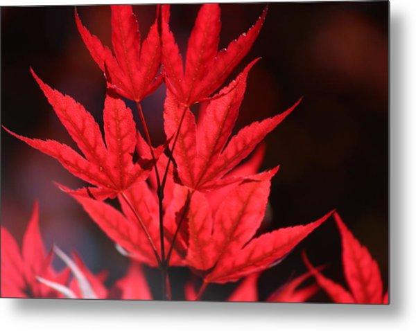 Guardsman Red Japanese Maple Leaves Metal Print