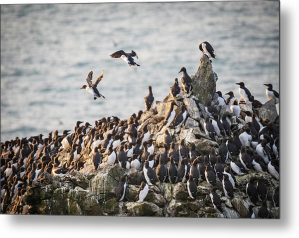 Metal Print featuring the photograph Guillemot's On Stack Rocks by Elliott Coleman