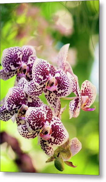 Harlequin White And Purple Red Metal Print
