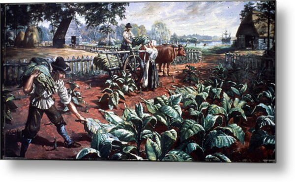 Harvesting Tobacco In Early Virginia Metal Print by Hulton Archive