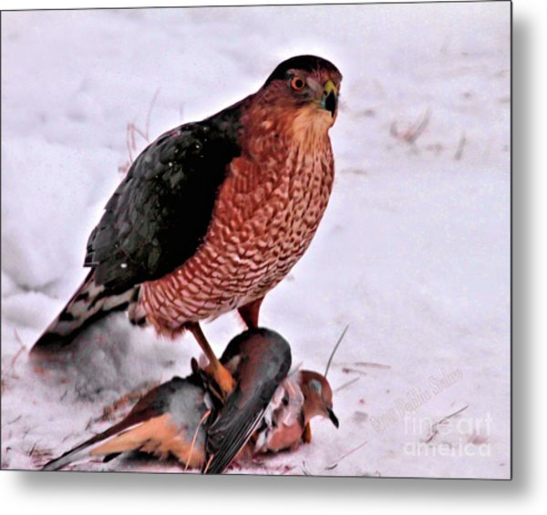 Metal Print featuring the photograph Hawk Takes Dove by Debbie Stahre