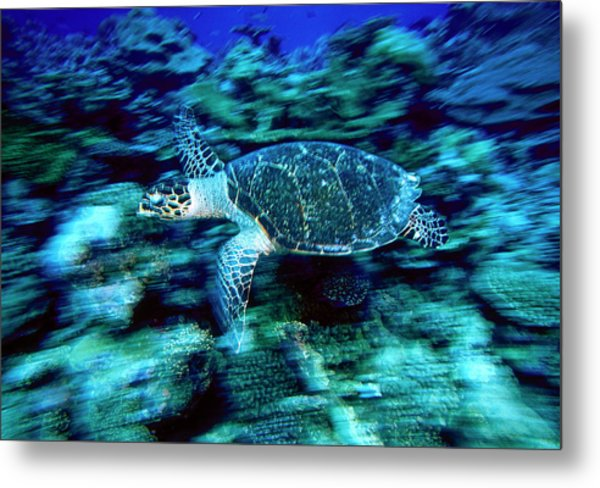 Hawksbill Sea Turtle, Maldives Metal Print by Stuart Westmorland