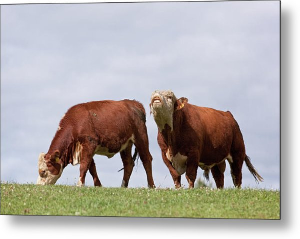 Hereford Cow & Bull Metal Print