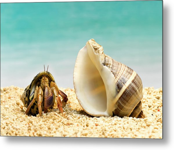 Hermit Crab Looking At Larger Shell Metal Print by Jeffrey Hamilton