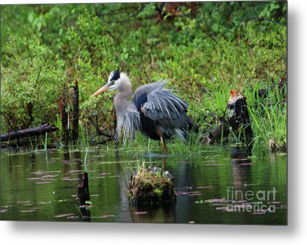 Heron In Beaver Pond Metal Print