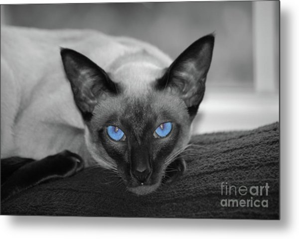Hey There Blue Eyes - Siamese Cat Metal Print