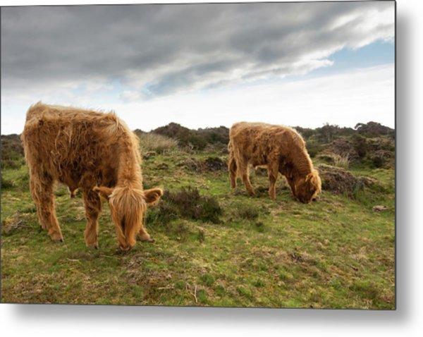 Highland Cattle Feeding At Baslow Edge Metal Print