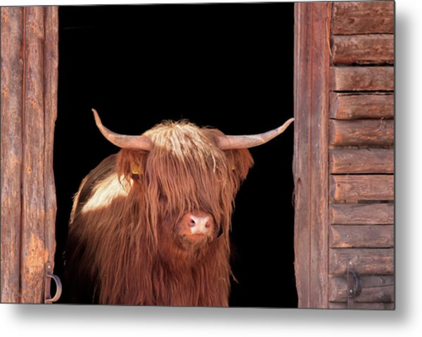Highland Cattle In Barn Door Metal Print by Kerrick