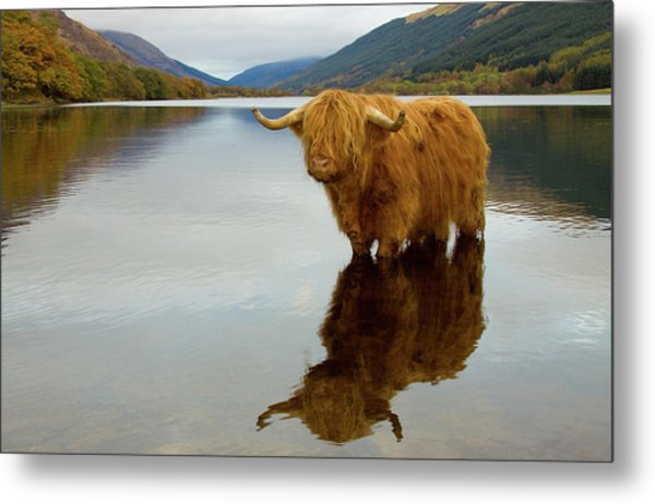 Highland Cow Metal Print by Empato