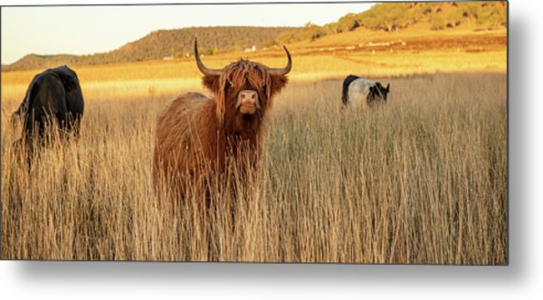 Highland Cows On The Farm Metal Print