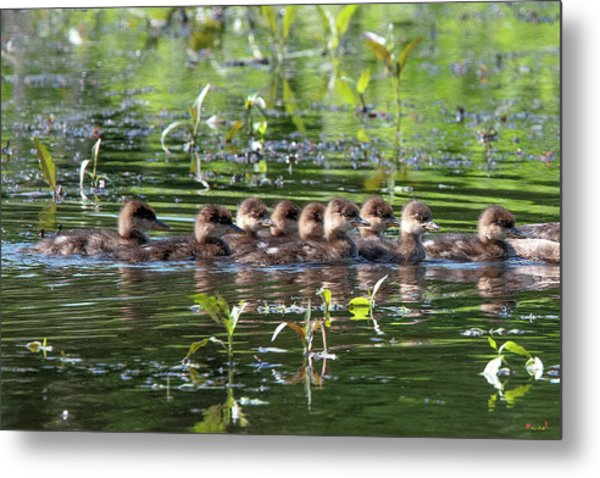 Hooded Merganser Ducklings Dwf0203 Metal Print